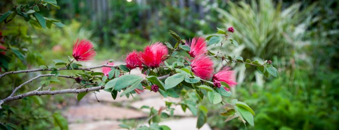 Calliandra in Garden